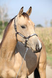 Nice palomino horse looking at you Stock Images