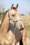 Nice palomino horse looking at you