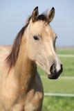 Nice palomino horse looking at you Royalty Free Stock Photos