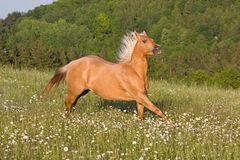 Nice palomino horse running Stock Photos