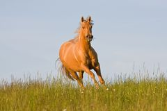 Nice palomino horse running Stock Photography