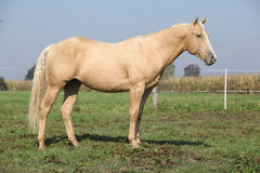 Nice palomino horse. Standing on pasturage in autumn Royalty Free Stock Photography