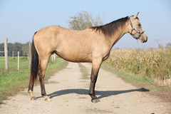 Nice palomino horse Stock Images