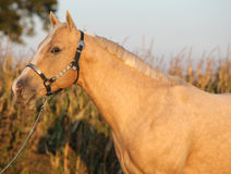 Nice palomino horse in sunset Stock Images