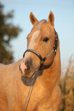 Nice palomino horse in sunset Stock Photo