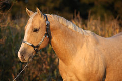 Nice palomino horse in sunset Royalty Free Stock Images