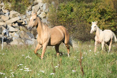 Nice palomino mare with foal running in autumn Royalty Free Stock Image