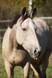 Nice palomino mare showing its tongue Stock Image