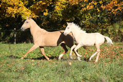 Nice palomino mare withfoal running in autumn Stock Image