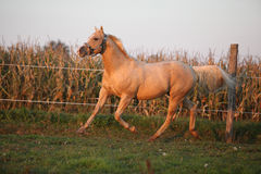 Nice palomino quarter horse in sunset Royalty Free Stock Image