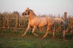 Nice palomino quarter horse in sunset Royalty Free Stock Image