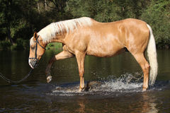 Nice palomino warmblood playing in the water Stock Image