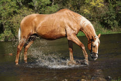 Nice palomino warmblood playing in the water Stock Photography