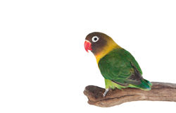 Nice parrot with red beak and yellow and green plumage Stock Images