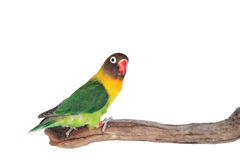 Nice parrot with red beak and yellow and green plumage Royalty Free Stock Photo