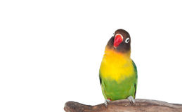 Nice parrot with red beak and yellow and green plumage Stock Photo