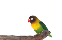 Nice parrot with red beak and yellow and green plumage Royalty Free Stock Photos