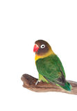 Nice parrot with red beak and yellow and green plumage Stock Photography