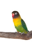 Nice parrot with red beak and yellow and green plumage Royalty Free Stock Images