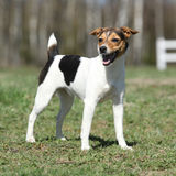 Nice Parson Russell terrier in nature Royalty Free Stock Image