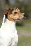 Nice Parson Russell terrier in nature Stock Photography