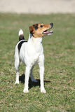 Nice Parson Russell terrier in nature Royalty Free Stock Photo