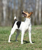 Nice Parson Russell terrier in nature Stock Images