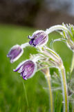 Nice pasque flowers. On spring meadow Stock Photography