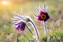 Nice pasqueflowers Royalty Free Stock Images