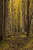 Nice path in birch forest Stock Images