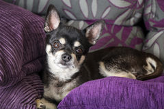 Nice peaceful chihuahua laying on purple couch. Nice peaceful black chihuahua laying on purple couch royalty free stock photos