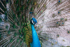 Nice peacock with feathers out Royalty Free Stock Photos