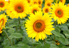 Nice photo of sunflowers Royalty Free Stock Image