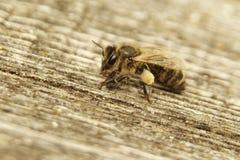 Nice picture of honeybee Honey Bee, Apis mellifera with collected pollen. stock photos
