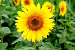 Nice picture of a sunflower Royalty Free Stock Photo