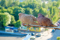 Nice pigeons stock photo