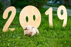 Nice piggy lying on green garass, near decorative wooden numbers of 2019. royalty free stock image