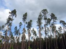 Beautiful pine trees in forest, Lithuania Stock Photography