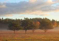 Beautiful pine trees near forest, Lithuania royalty free stock photography