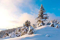 Nice pine in winter forest Royalty Free Stock Image