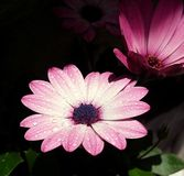Nice pink flower. Beautiful pink flower on the dark background Stock Images
