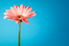 Nice pink gerbera on blue background Stock Images