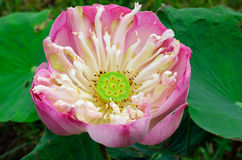 Nice pink lotus blossom Stock Images