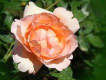 Beautiful pink rose in garden, Lithuania Stock Image