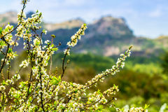 Nice plum blossoms blooming in early Spring. Royalty Free Stock Images