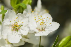 Nice plum flowers. On branch Stock Image