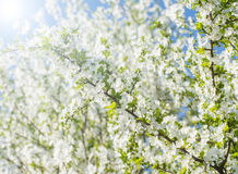 Nice plum flowers. On branch Royalty Free Stock Image