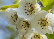 Nice plum flowers. On branch Royalty Free Stock Photo