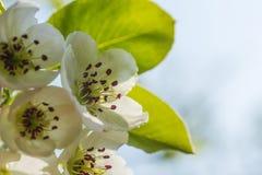 Nice plum flowers. On branch Stock Photos