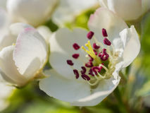Nice plum flowers. On branch Stock Photography